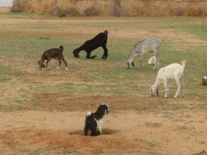 Goats are Beginning to Graze