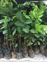 Fruit and timber seedling distribution