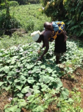 Moms cultivate sweet potato as weaning food