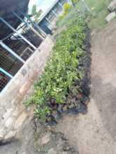 Orange and mango tree seedlings ready for planting