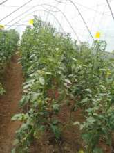 Tomatoes ready for harvesting soon