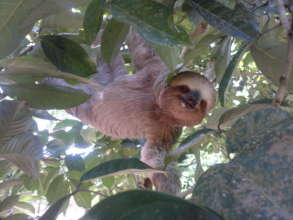 A sloth, a local forest inhabitant