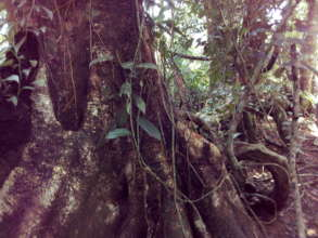 Forest protected next to Tortuguero Natl Park