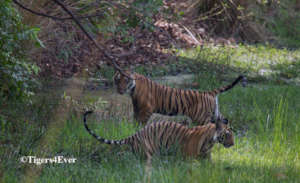 Tiger cubs enjoying the cool around the waterhole