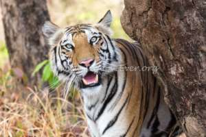 Tigers like this survive because of our waterhole