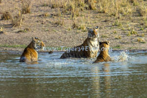 Tigress & Cubs in Tigers4Ever Waterhole