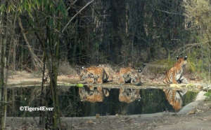 Tiger cubs at man-made waterhole