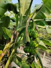 Growing bananas!
