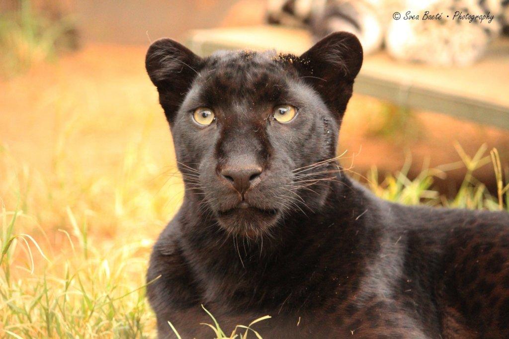 Help Cheetah Experience to keep Gemini forever!
