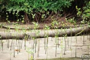 Indo Mangroves