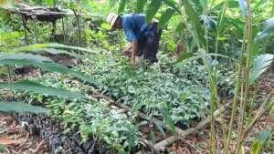 Tree nursery for agroforestry