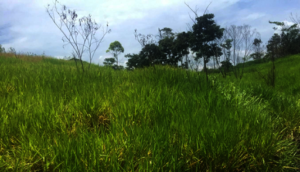 Pasture used for raising cattle