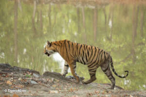 A young male tiger at the water's edge