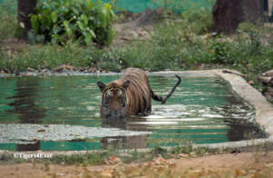 1 of the orphaned cubs in a Tigers4Ever Waterhole