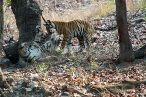 Tiger cubs learning how to defend themselves