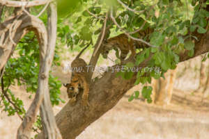 Tiger cubs playing in a tree