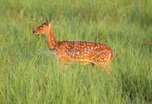 A Chittal (Spotted Deer) in a lush meadow (vah)