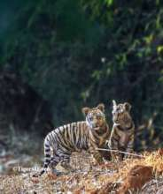 Tiger cubs struggle to survive without mothers