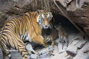 Tigress & Young Cubs
