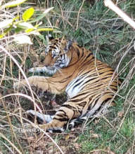 Young tiger who had entered a house to get food
