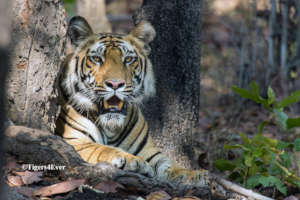Protect Bandhavgarh's Tigers From Poachers