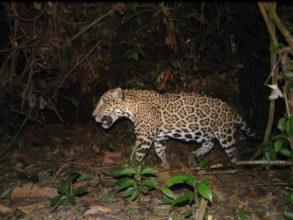 Jaguar caught on camera trap
