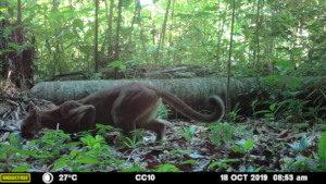 Puma - MMNFR Camera Trap, Ya'axche Science