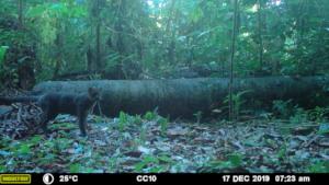 Jaguarundi - MMNFR Camera Trap, Ya'axche Science