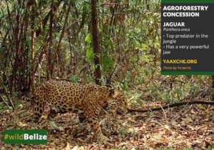 A jaguar photographed at Maya Mountain North FR