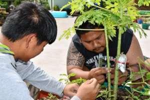 Raising young papaya (paw paw) plants