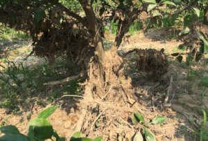 Mandarin seedlings suffering from mud