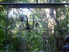 Spider monkeys in the Release Enclosure, Fireburn