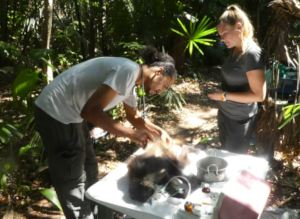 Collaring spider monkeys before release