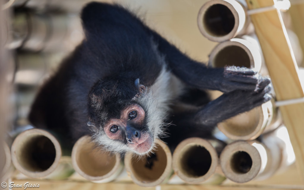 Returning spider monkeys to Belize's forests