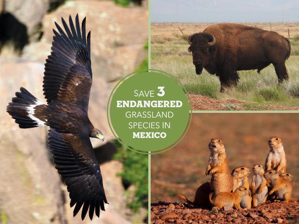 Help Save 3 Endangered Grassland Species in Mexico