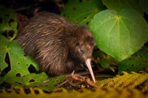 Kiwis - THEY may not fly, but OUR Kiwis DO!