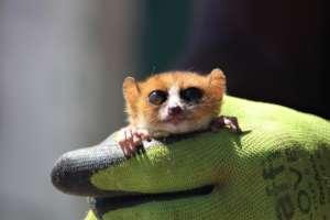 Anosy Mouse Lemur