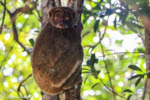 Southern Woolly Lemur