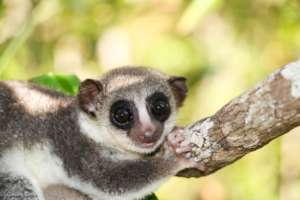 Thomas' Dwarf Lemur