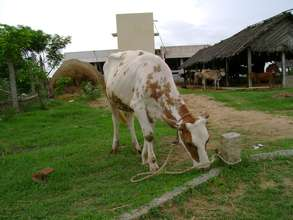 Welcome to cow- urine is best feedback of cancer