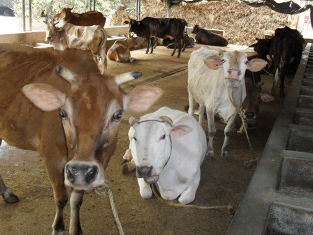 Save the cow and secure their future
