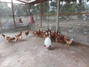 New laying hens have arrived