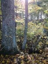 Giant Tree in Rynski Dwor