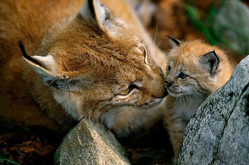 Help WWF bring the lynx back to Bulgaria