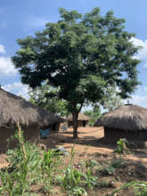 Planted 2018, an Albizia shades homes of refugees