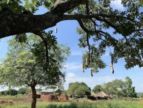 Kigelia africana on farm in refugee area