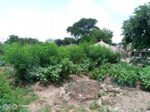 Pigeonpea greens a home fast, gives food + fodder