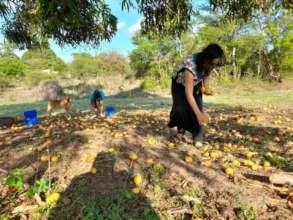 collecting mango