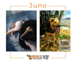 Juno was 3 days run over without help