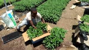 Packaging seedlings for transport from Meki